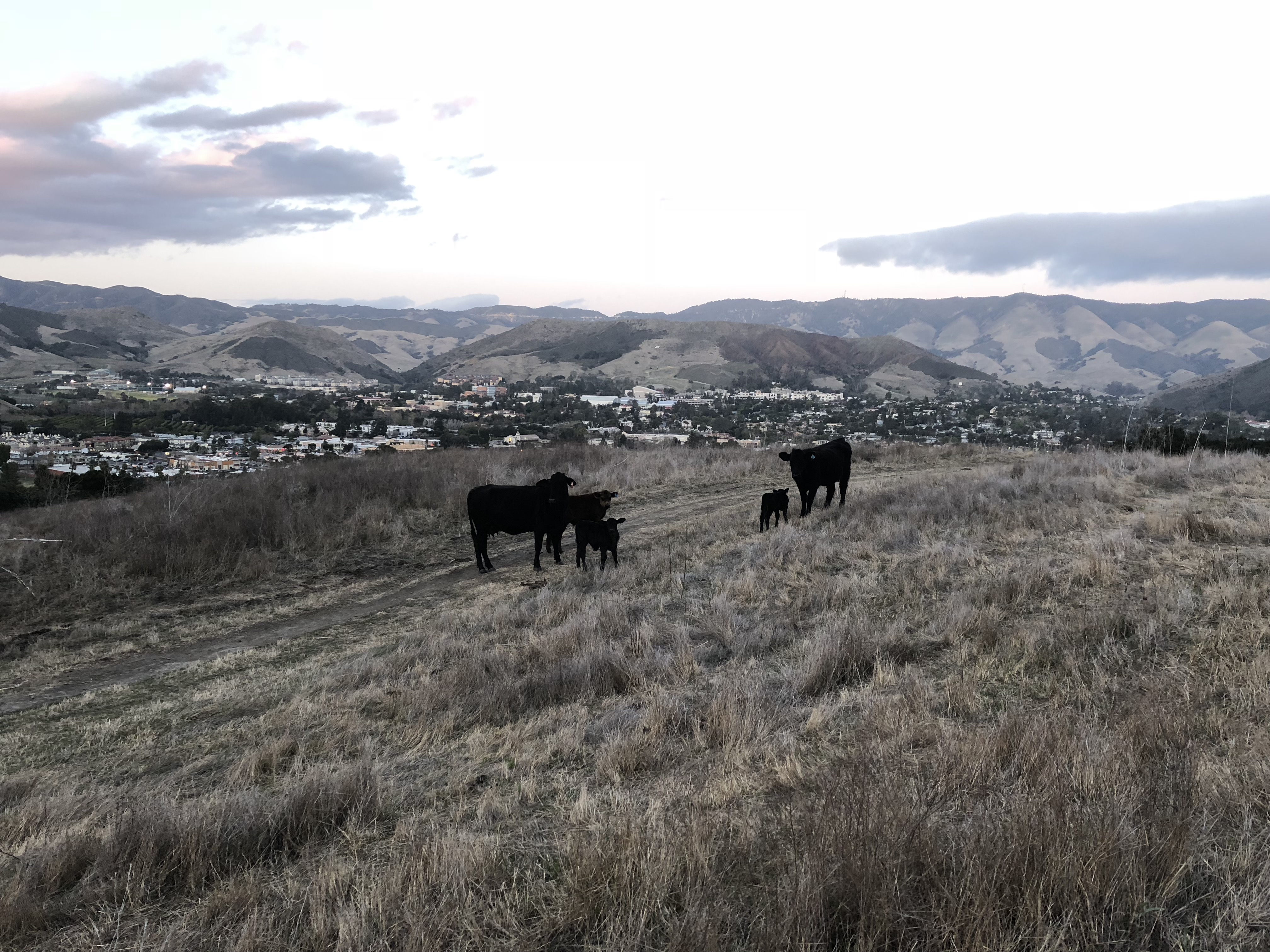 Five cows on Madonna Mountain