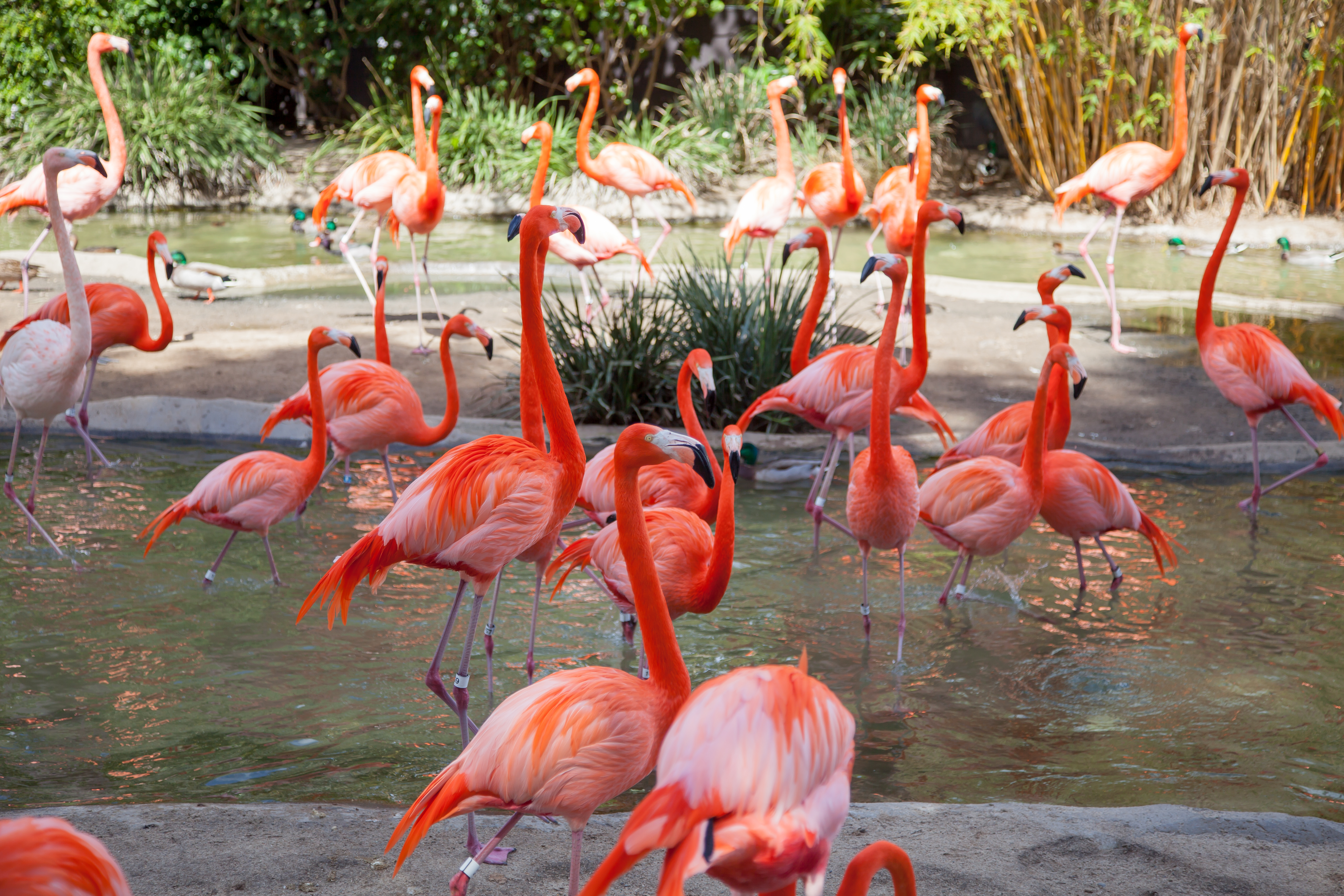 many flamingos