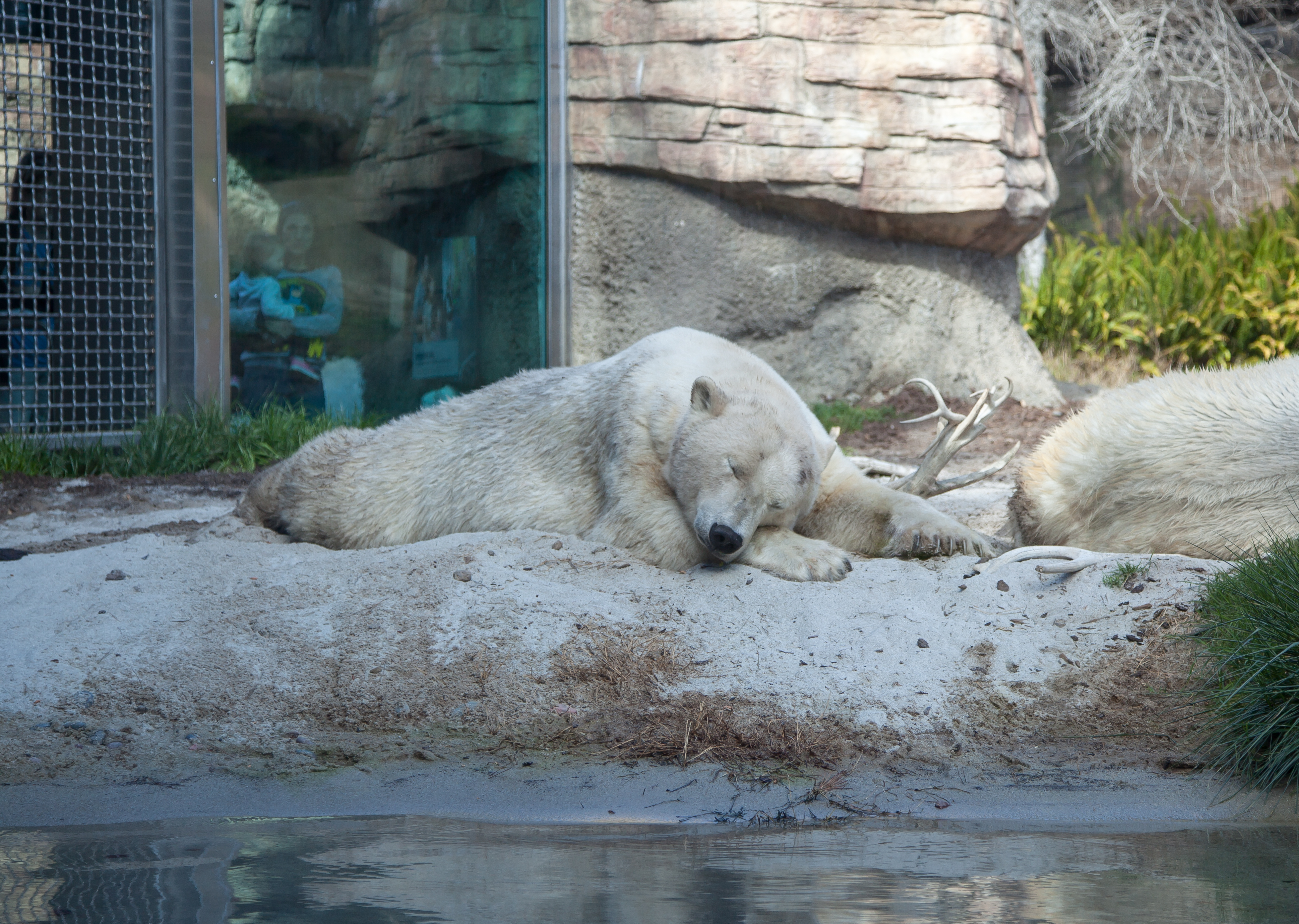 sleeping polar bears