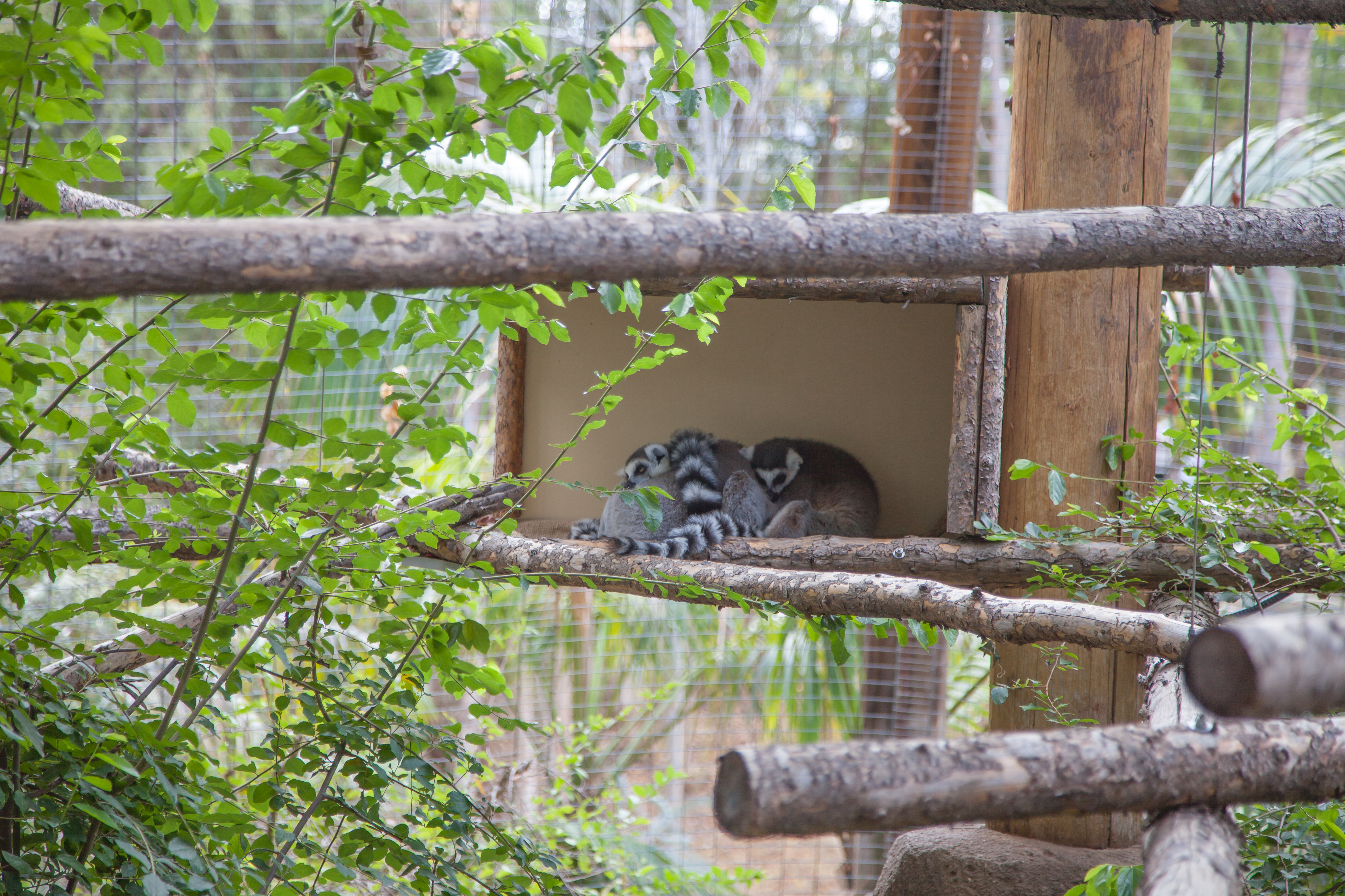 some lazy lemurs