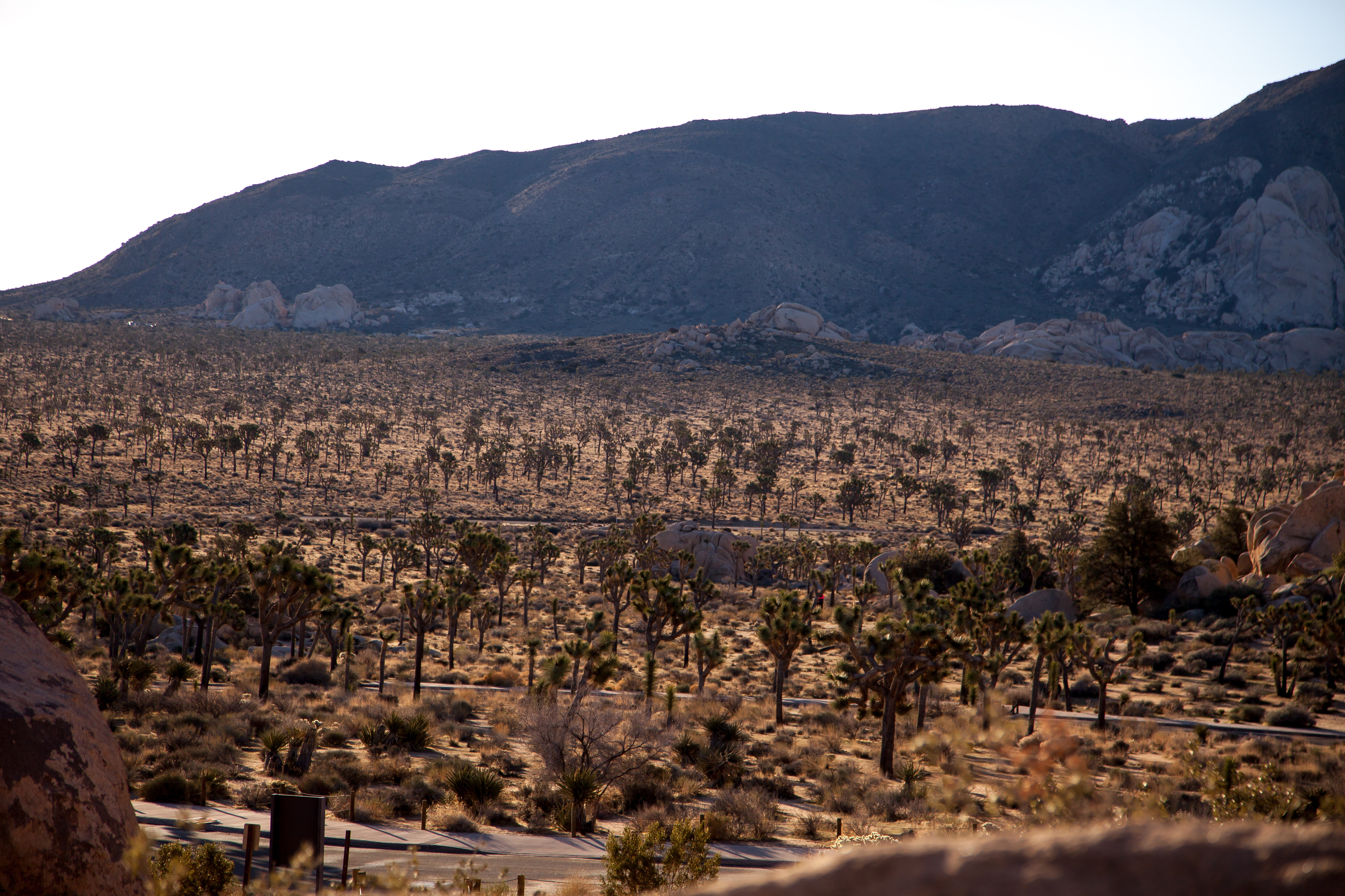 a veritable forest of Joshua trees