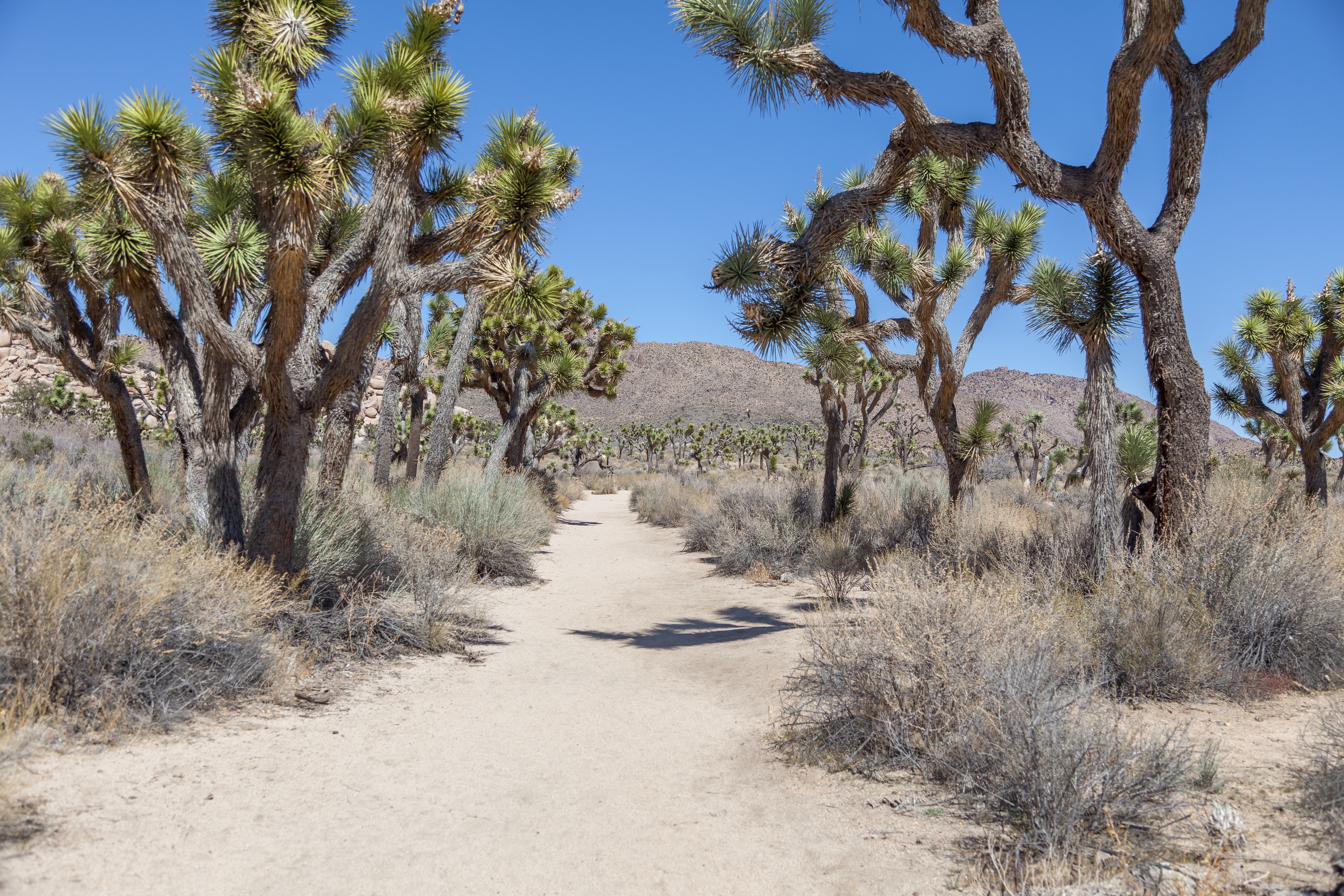 a pretty trail surrounded by joshua trees